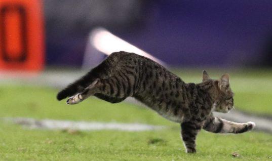 Комментатор НФЛ божественно прокомментировал забег кота по полю