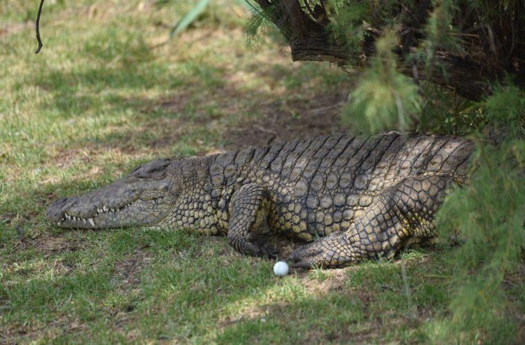 Гольфист не сумел сыграть мяч из-за огромного крокодила