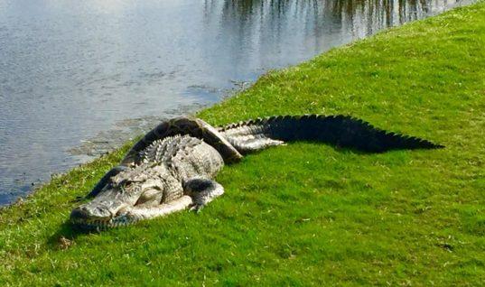Турнир по гольфу украсила схватка аллигатора с питоном