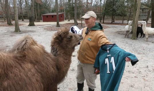 Жираф, бегемот, верблюд и другие животные дали прогнозы на Супербоул