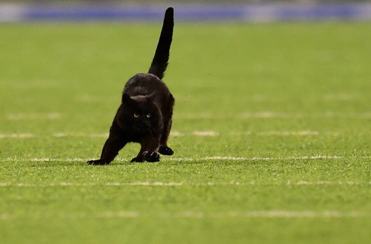 Выбежавший на матче НФЛ кот стал героем Интернета
